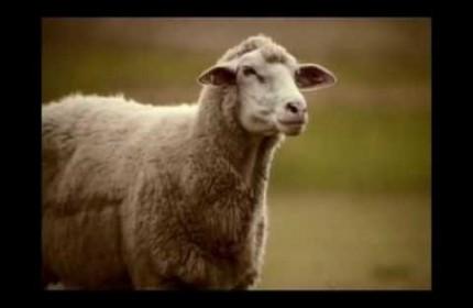 Mentos - Owce na kosiarkach
